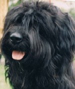 Milly the starwell briard