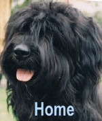 Ben old friend - A Champion Starwell Briard